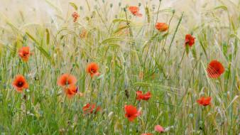 Франция, маки, пшеничное поле, цветы