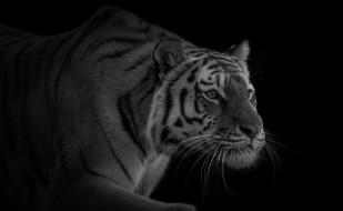 крадется, красавец, тигр, хищник