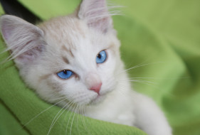 кошка, плед, кот