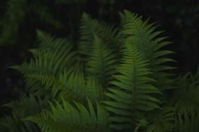 зеленый, папоротник, листья