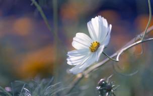 трава, космея, белая
