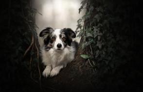 плющ, Бордер-колли, дерево, портрет, взгляд, собака