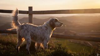 изгородь, панорама, пес, сеттер, собака