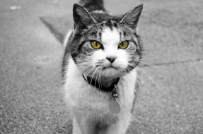 животные, коты, брелок, кошка, ошейник, кот