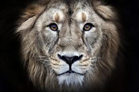 хищник, зверь, голова, лев