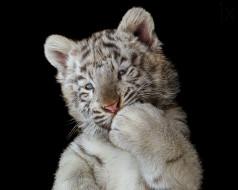 тёмный фон, тигрёнок, чёрный фон, лапа, белый тигр