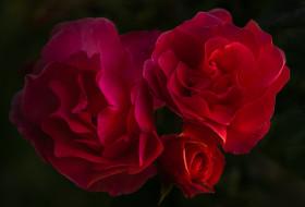 цветы, розы, бутон, лепестки