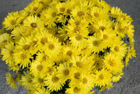 букет, хризантемы, желтые