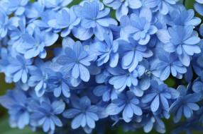 цветы, гортензия, макро, голубой