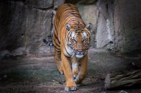 хищник, красавец, тигр