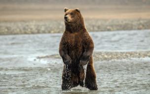 медведь, животные