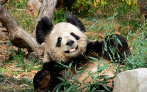 животные, панды, панда