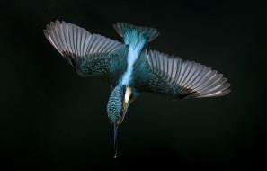 животные, зимородки, зимородок, полет, крылья, пике