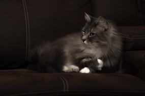 животные, коты, серый, красавец, белые, лапки, морда, пушистый, кошка, диван, лежит, взгляд, темный, фон, котэ, дымчатый
