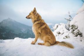 животные, собаки, зима, горы, снег, собака, рыжий, пес