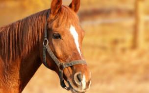 животные, лошади, голова, конь, рыжий, лошадь, уздечка