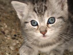 животные, коты, котенок, серый, полосатый