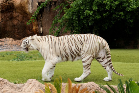 белый, лужайка, камни, тигр
