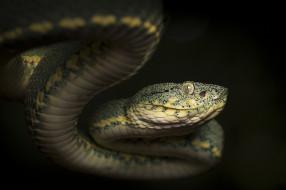 животные, змеи,  питоны,  кобры, змейка