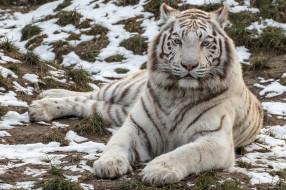 красавец, белый, тигр, хищник