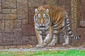 тигр, животные, тигры, хищник, семейство, кошачьих, зверь