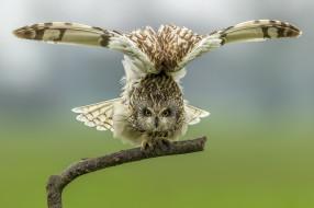 болотная сова, птицы, дерево