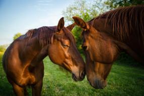 обои для рабочего стола 2048x1365 животные, лошади, фон, морды, два, природа, коня, кони, коричневые, общение, дружба, небо, трава, гнедые, пара, зелень