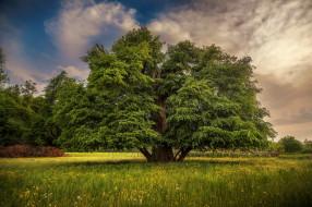 дерево, трава, луг, крона