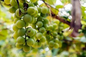 обои для рабочего стола 2560x1706 природа, Ягоды,  виноград, гроздь