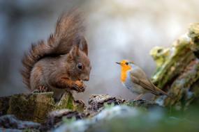 белка, грызун, друзья, природа, пень, птица, общение, птичка, орех, дружба, фон, белочка, зарянка