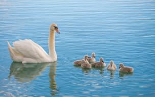 семья, лебедь, малыши
