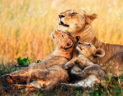 детеныши, львица, львы, котята, Африка