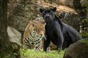 животные, Ягуары, пара, ягуар, хищник, пантера