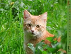 кошка, взгляд, трава