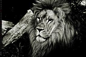 взгляд, лев, морда