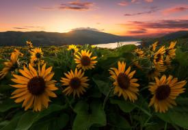 Rowena, река Колумбия, холмы, закат, Tom McCall Preserve, Oregon, Ровена, Заказник Том Мак-Колл, Columbia River, бальзамориза, луг, Columbia River Gorge, цветы, Орегон, ущелье реки Колумбия
