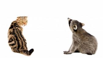 кот, кошка, енот