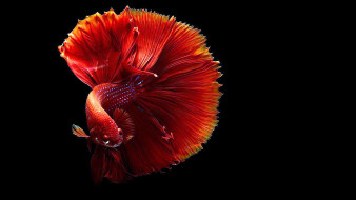Петушок, рыбка