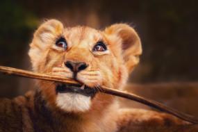 палка, львенок, маленький лев, глаза, лев, взгляд
