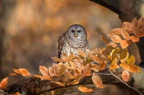 ветки, боке, осень, листва, птица, неясыть, сова, золотая осень, дерево, листья, пестрая, фон, взгляд