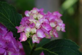 соцветие, розовые, листья