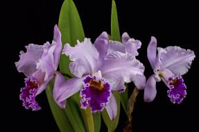 орхидея, макро, сиреневый