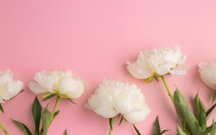 цветы, flowers, пионы, white, белые, beautiful, peonies