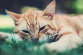 трава, рыжий, кот, кошка