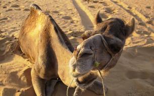 песок, следы, верблюд