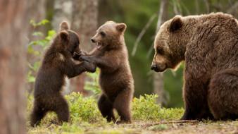 медведица, медвежата, игра