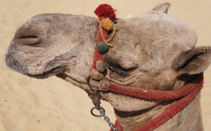 уздечка, верблюд, голова