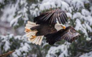 полёт, птица, крылья, Белоголовый орлан, боке