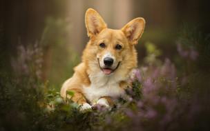 собака, трава, велш-корг, пес, цветы, язык