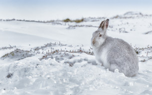 снег, заец